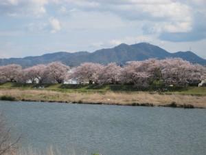 ~桜並木~